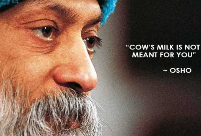 osho-cows-milk